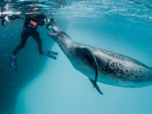 This leopard seal started getting aggressive