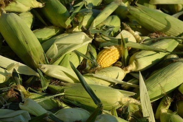 Fresh sweet corn sits in a pile.