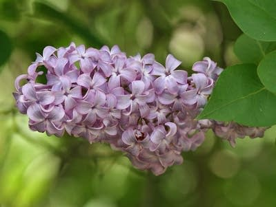2158f0 20170310 lilac flower leaves sc vic 13 10 2007