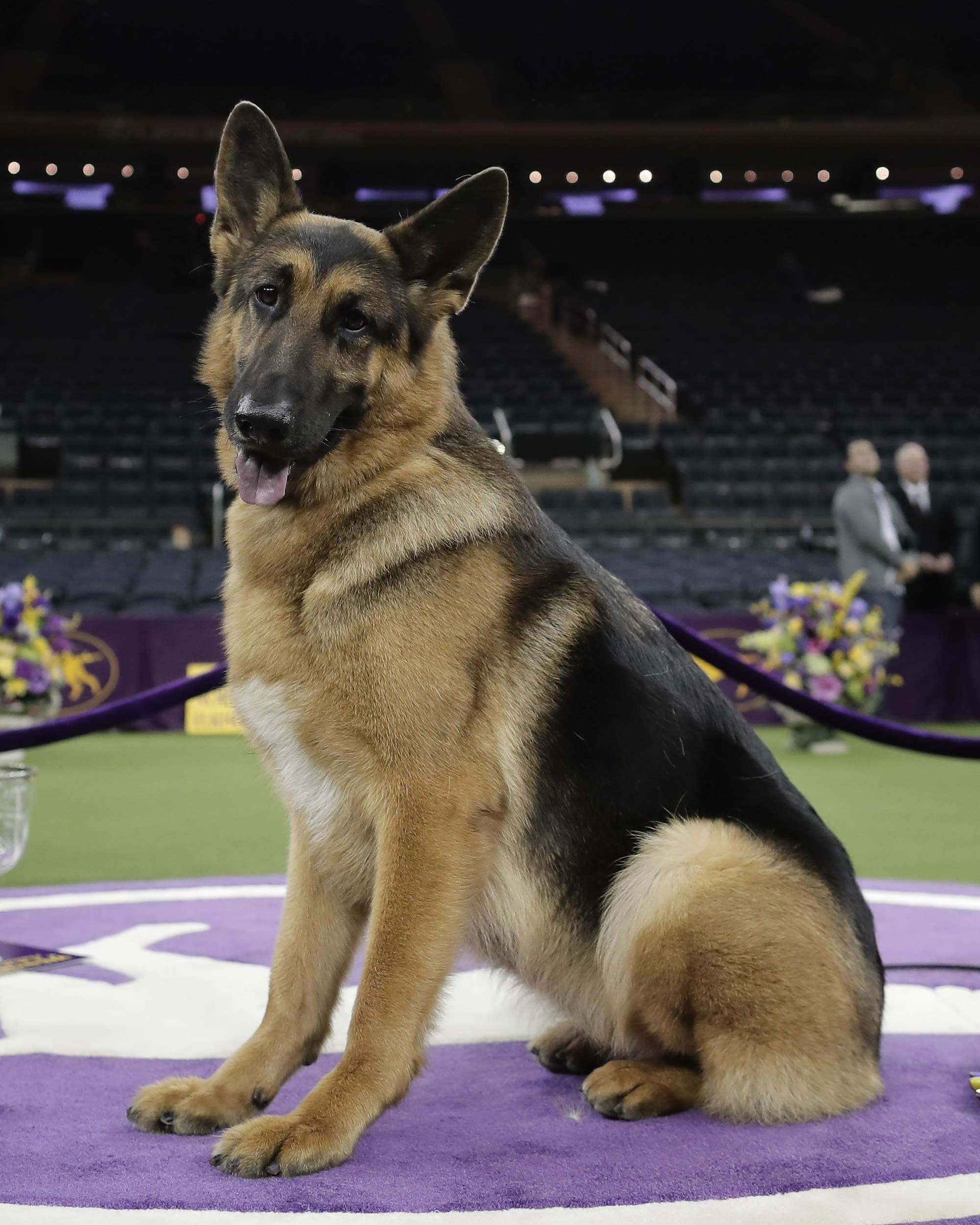Westminster Dog Show 2020 Results.German Shepherd From Wisconsin Wins Best In Show At