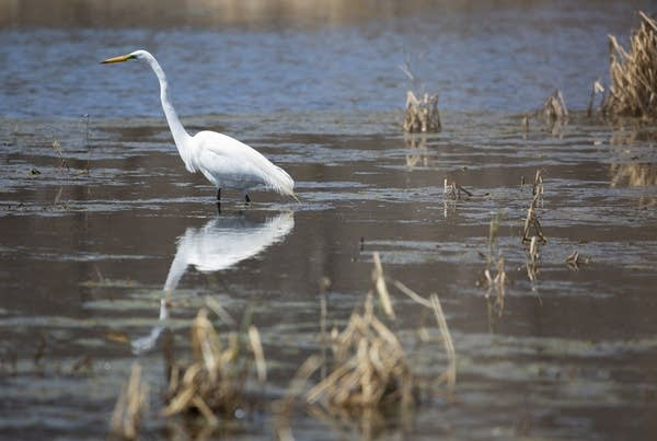 An egret in the water.