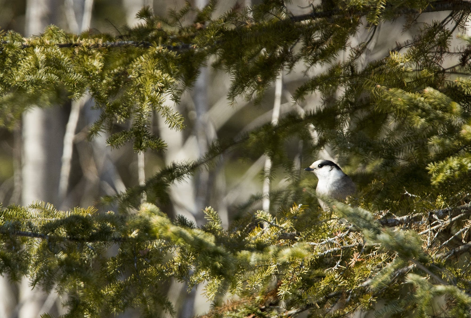 A gray jay hangs out in a pine tree