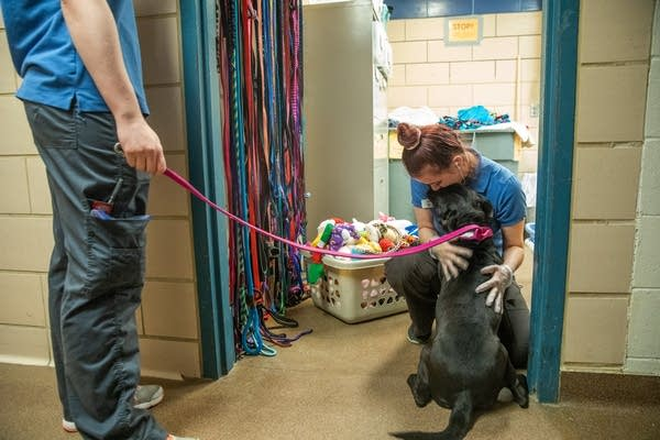 A person in a blue shirt pets a dog.