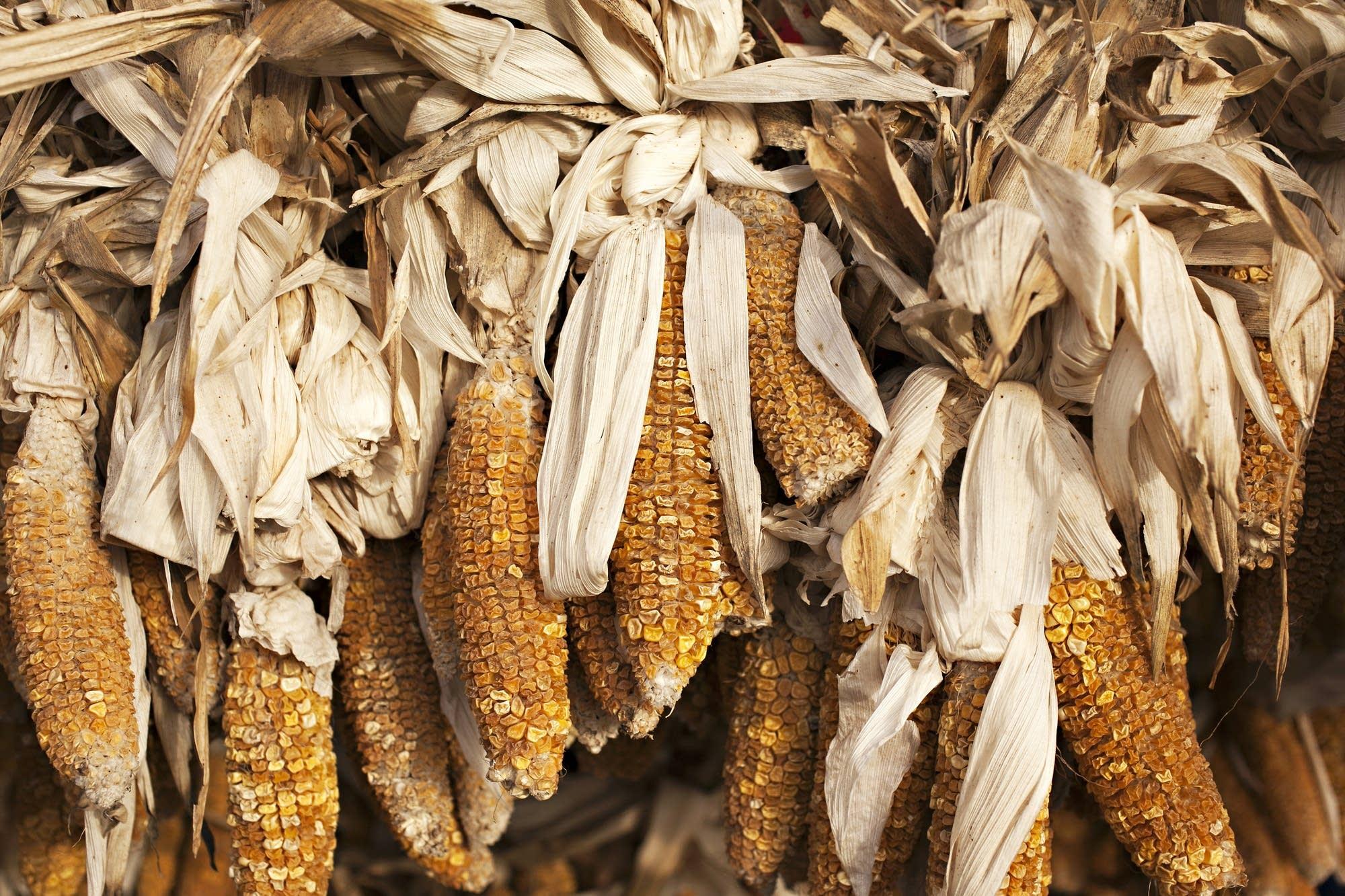 Morning sun illuminates dried corn.