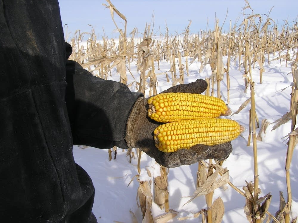 Unharvested corn