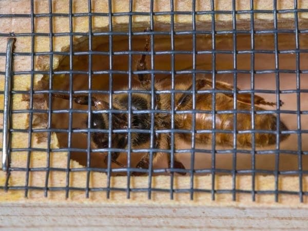Queen bees are kept in individual little wooden cages.