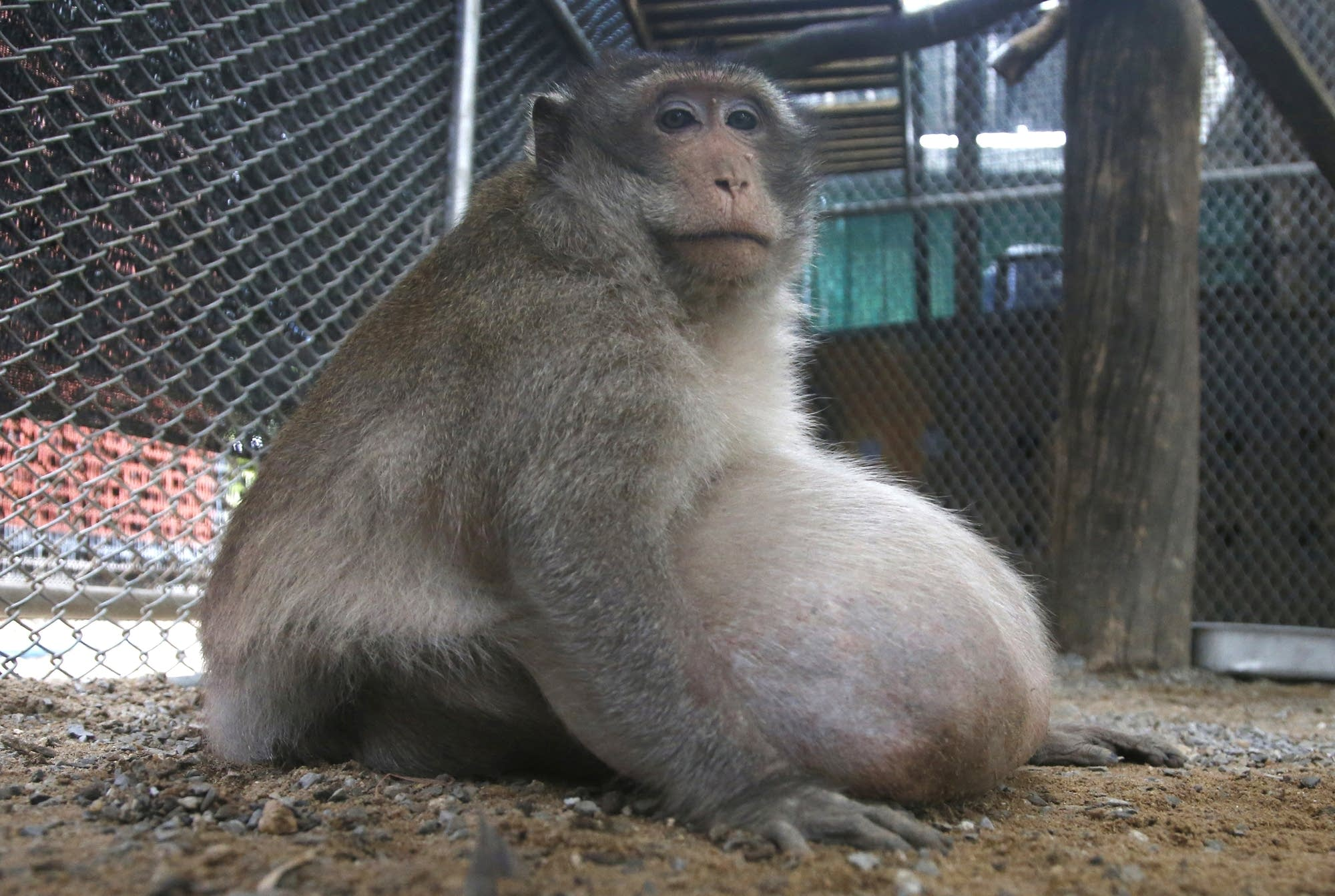 A wild obese macaque, named