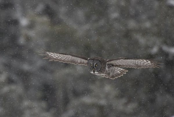 A great gray owl takes flight north of Two Harbors, Minn.