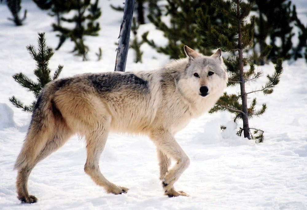 Image result for wolf minnesota
