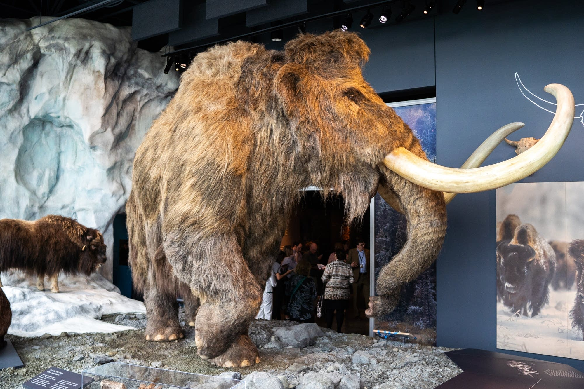 A synthetic wooly mammoth and real musk ox.