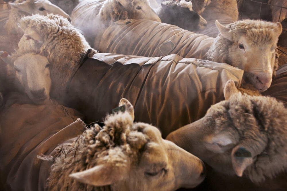 Sheep awaiting shearing