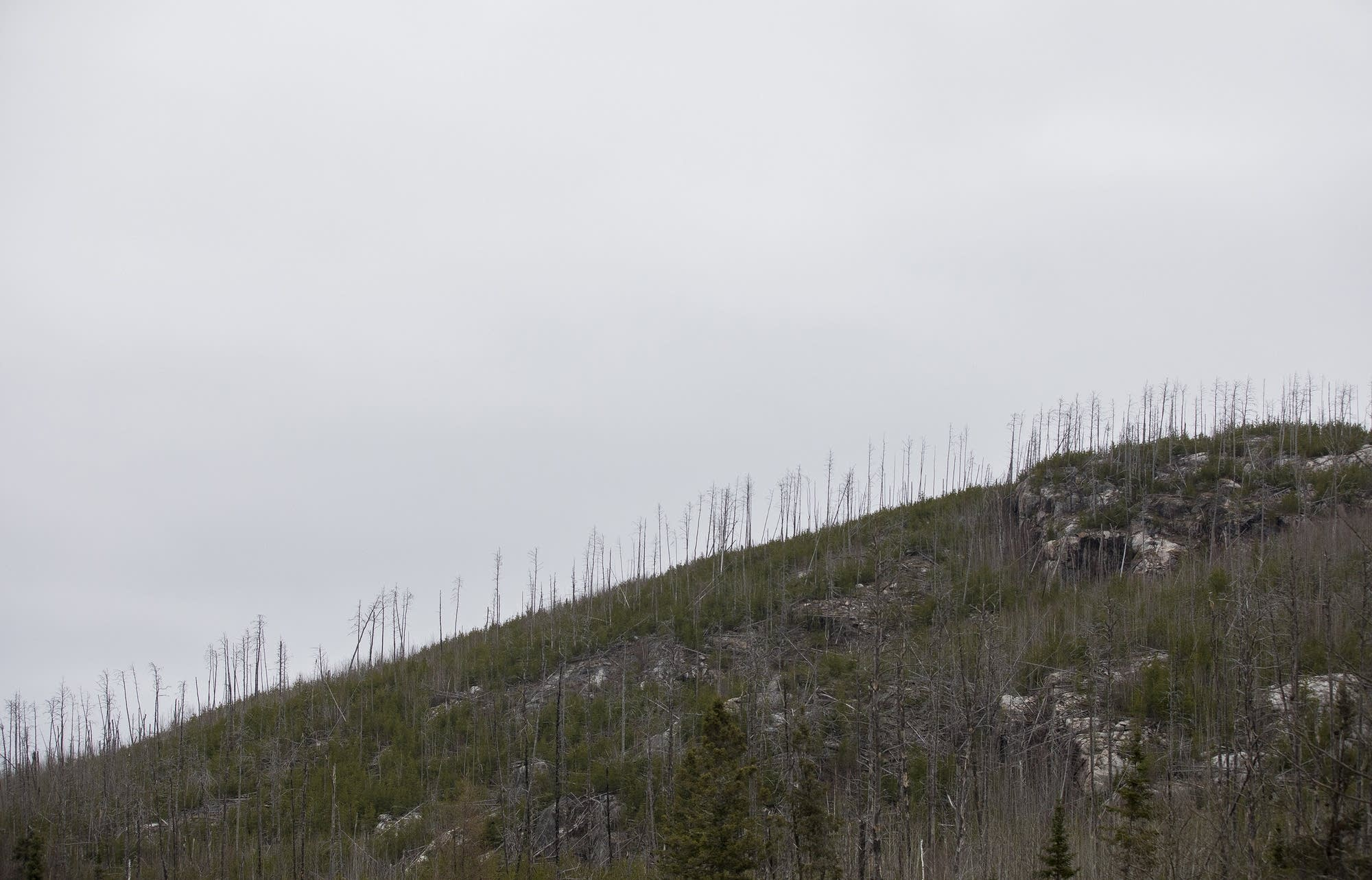 A ridge is marked by dead trees that were victims of the Ham Lake Fire.
