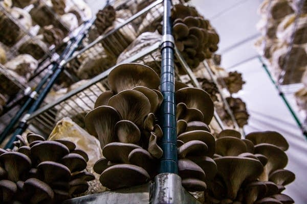 Oyster mushrooms grow inside of a grow room at Mississippi Mushrooms.
