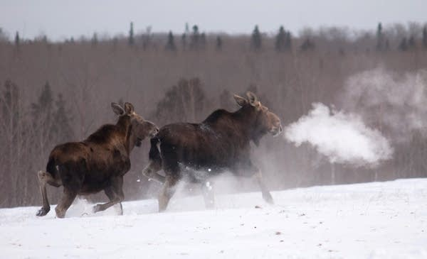 A moose calf follows its mother