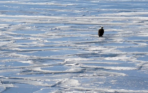 A bald eagle sits on the broken ice of Lake Superior.