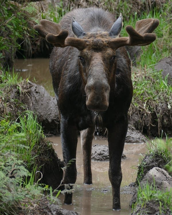 A bull moose cools off and eats in the mud next to a lake on Isle Royale.
