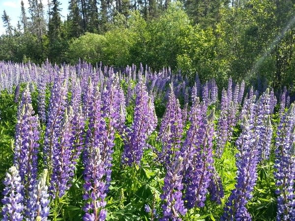 Ely purple lupine