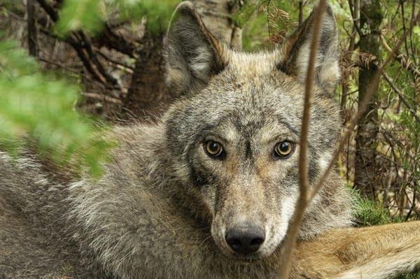 Wolves Versus Beavers