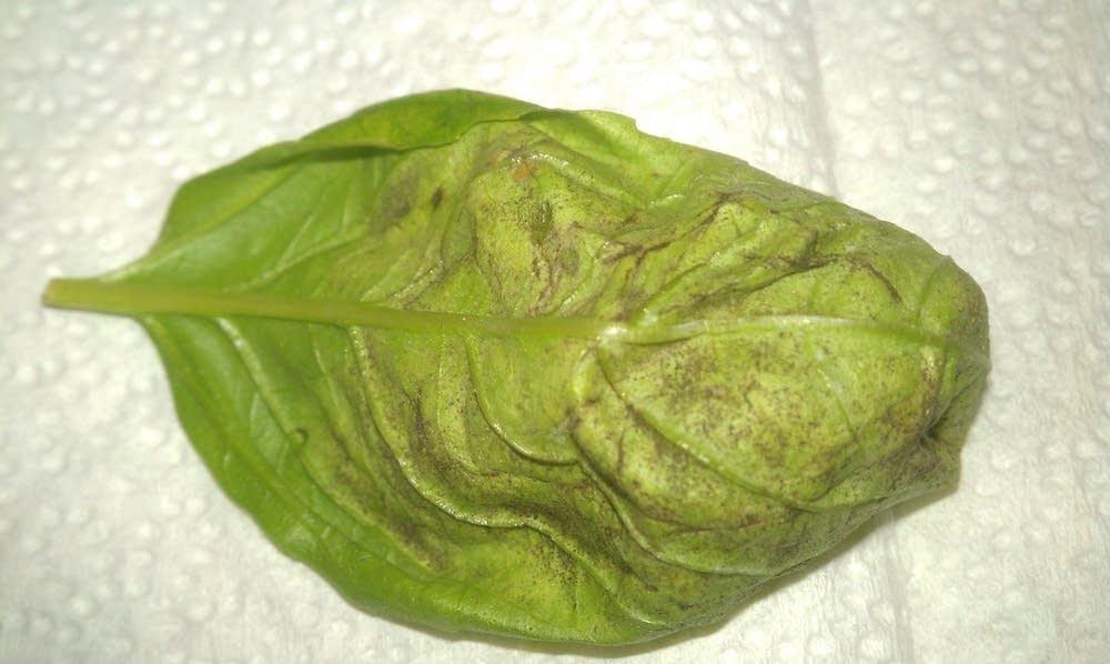 Basil fungal disease