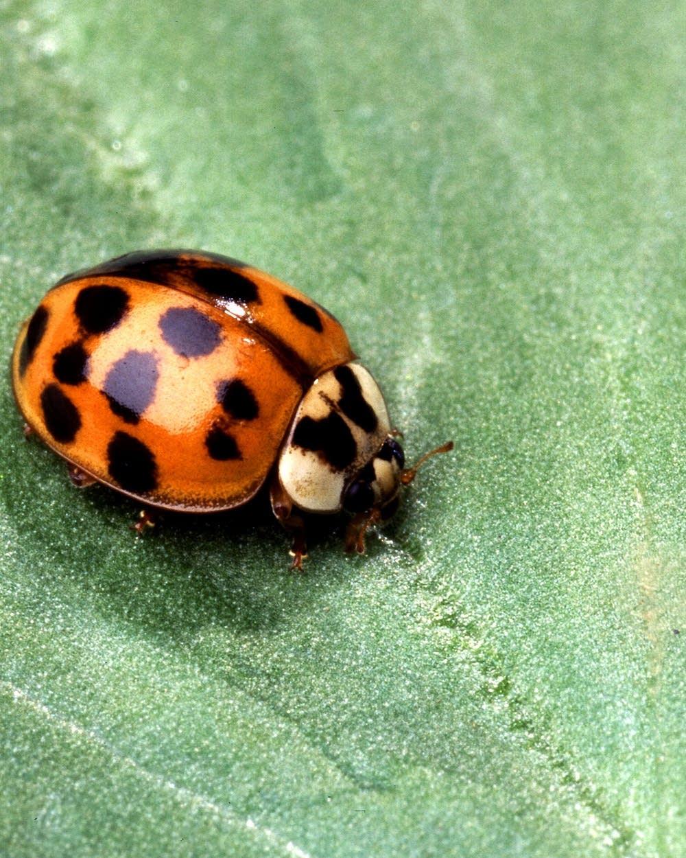 Dang Beetles Warm Weather Triggers Asian Ladybug Breakout Mpr News