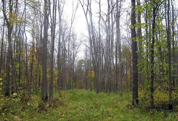A healthy stand of black ash trees