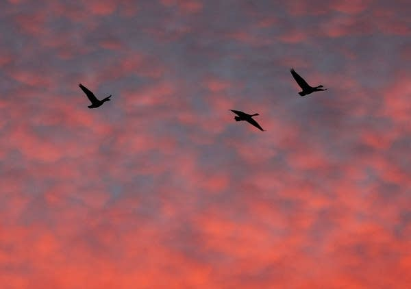 Geese migrate south