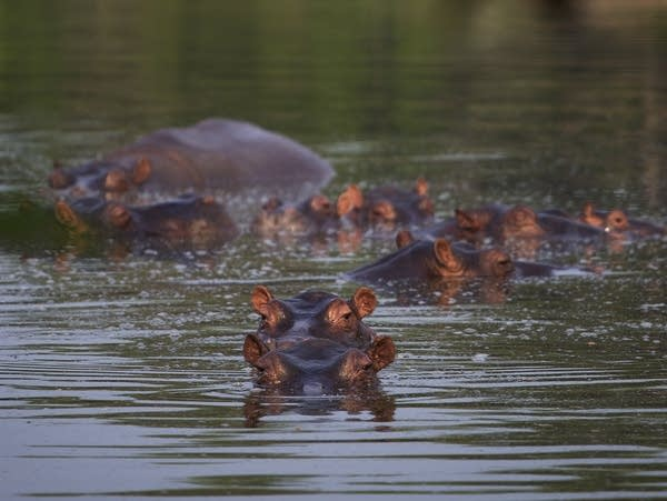 Hippos stay submerged in a lake