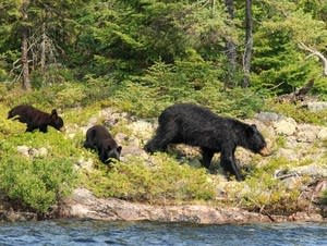 Bears at Fall Lake