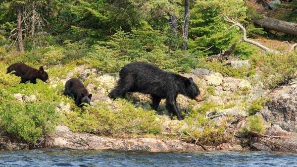 A black bear family eats blueberries