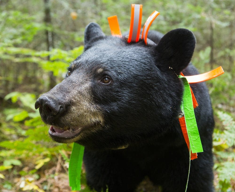 June, the black bear