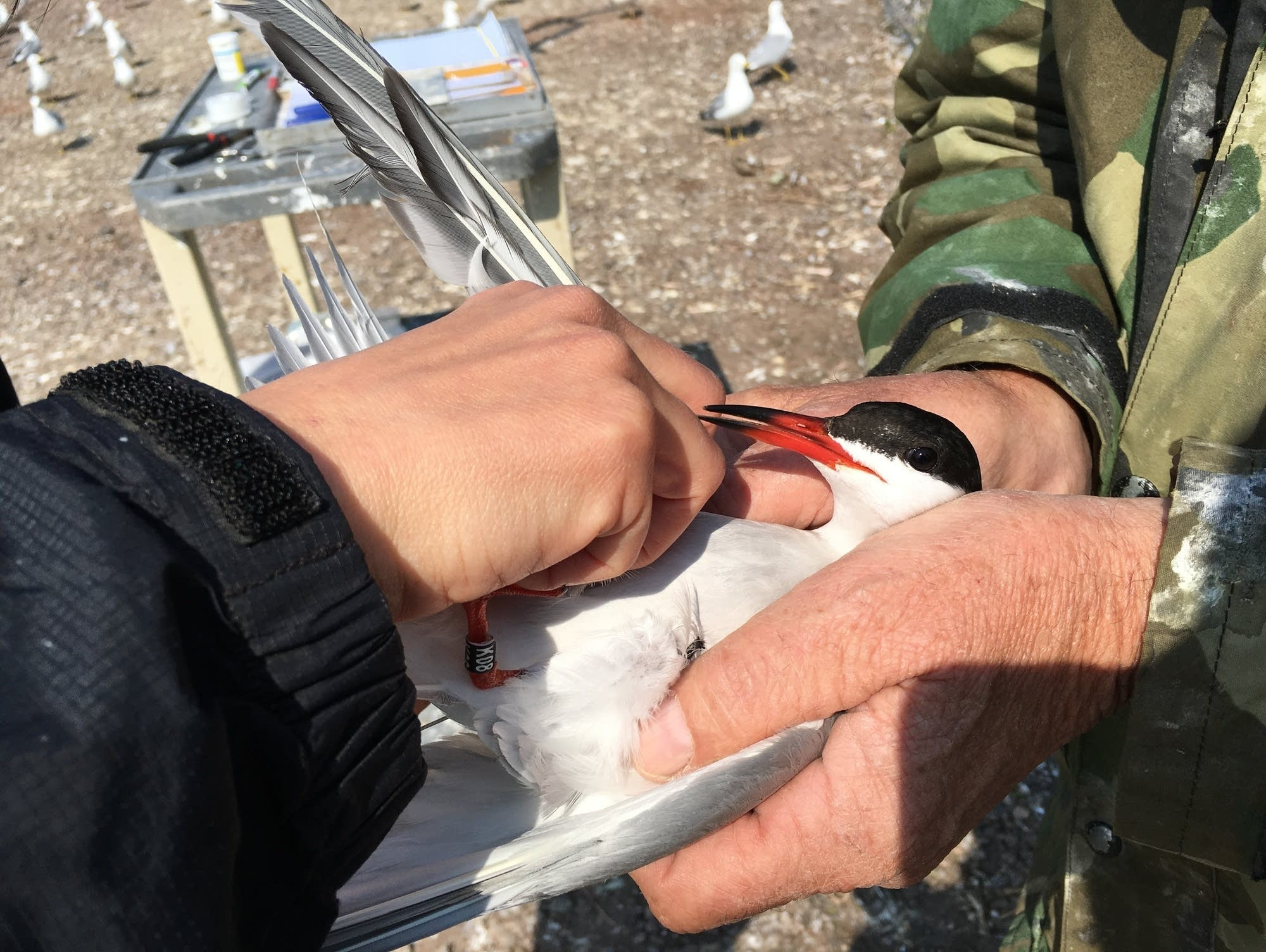 Researchers put a radio transmitter on a common tern.