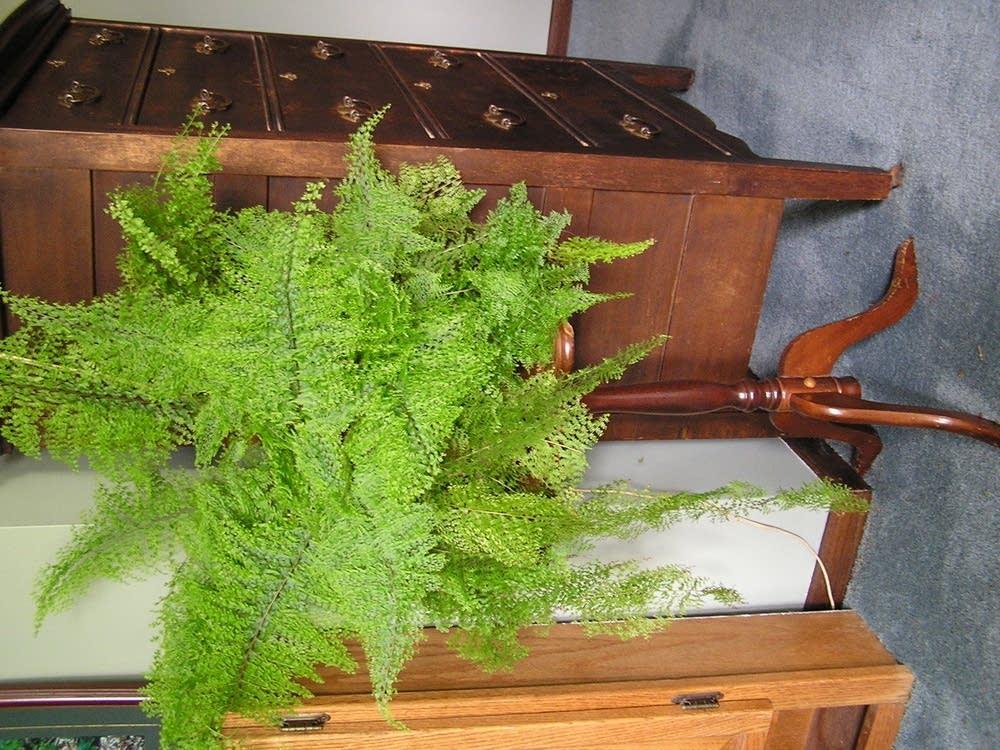 Unwanted fern
