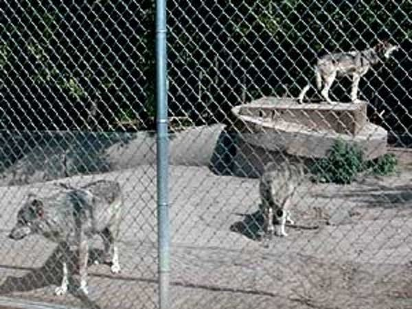 Wolves in captivity