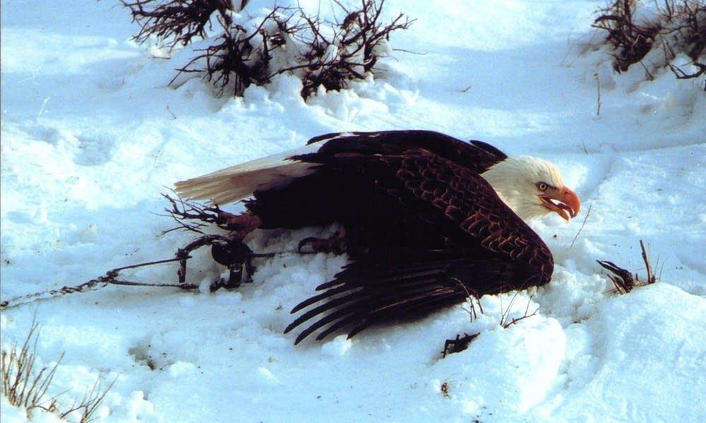 Trapped eagle