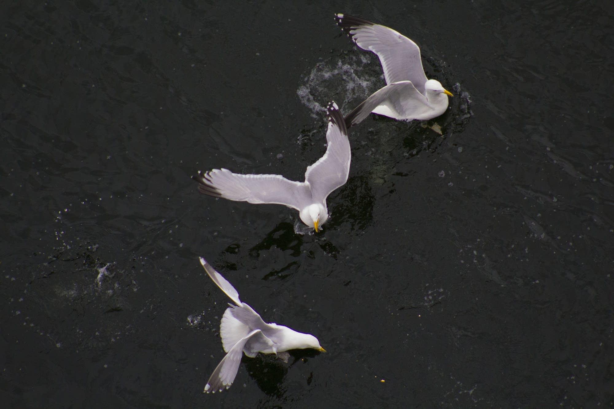 Invergordon - 02 - Gulls