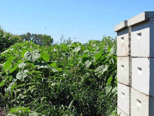 Bees fly in and out of a hive in a research plot.