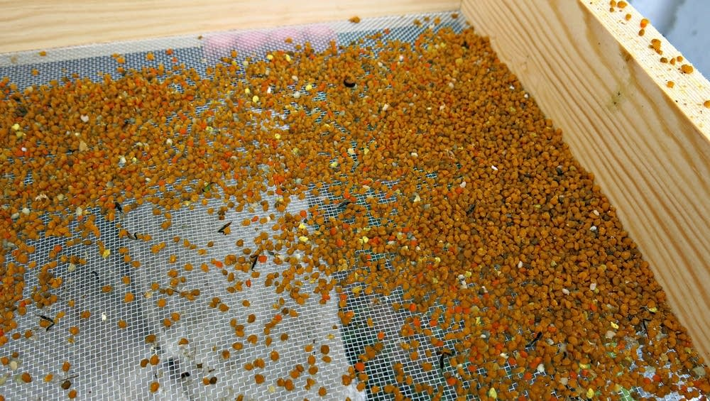 Pollen collected from bees entering a hive.