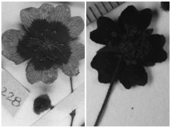 Two black and white images of flowers, the right one is darker.