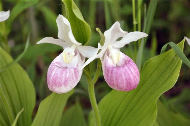 Showy lady's slipper