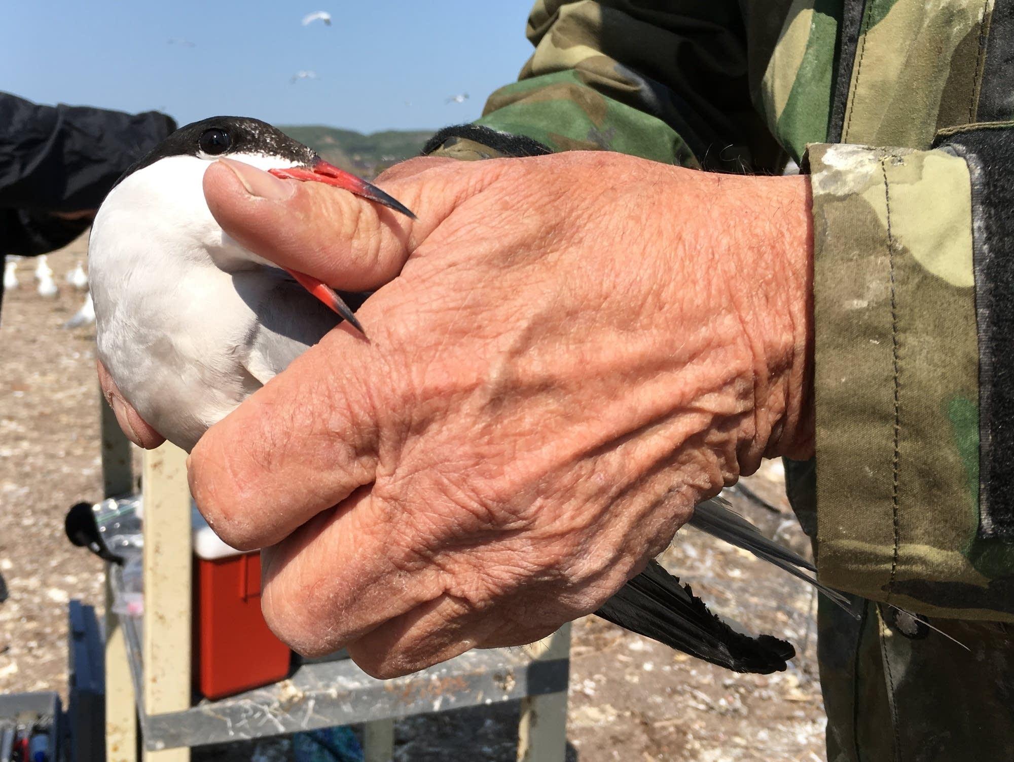 A common tern bites the thumb of Minnesota DNR volunteer Fred Strand.