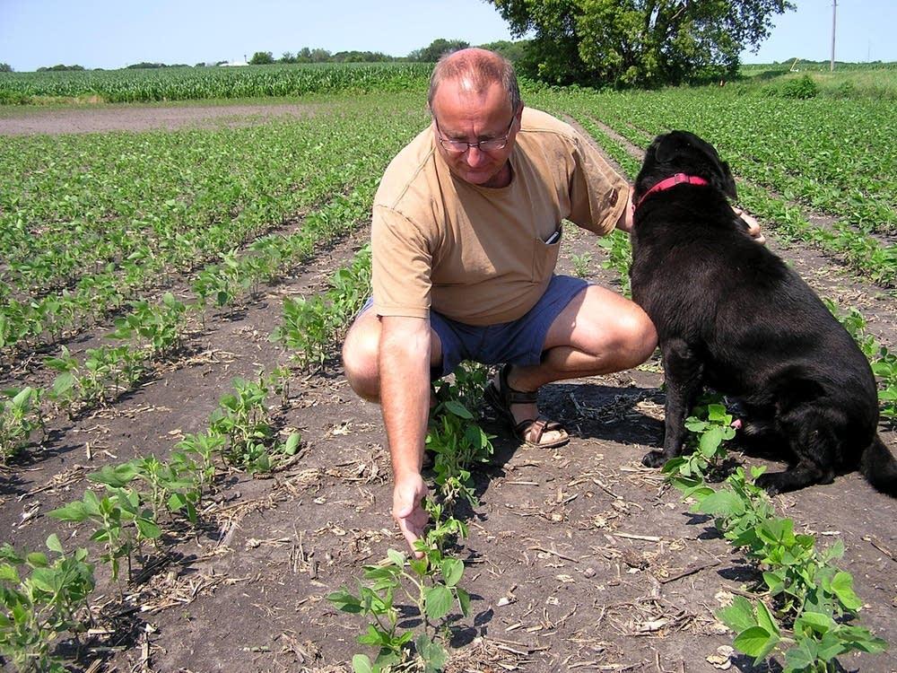 Hail-damaged soybean field