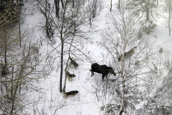 Isle Royale wolves prepare to attack a bull moose