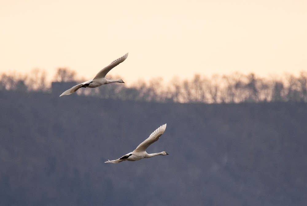 Swans above the Mississippi.