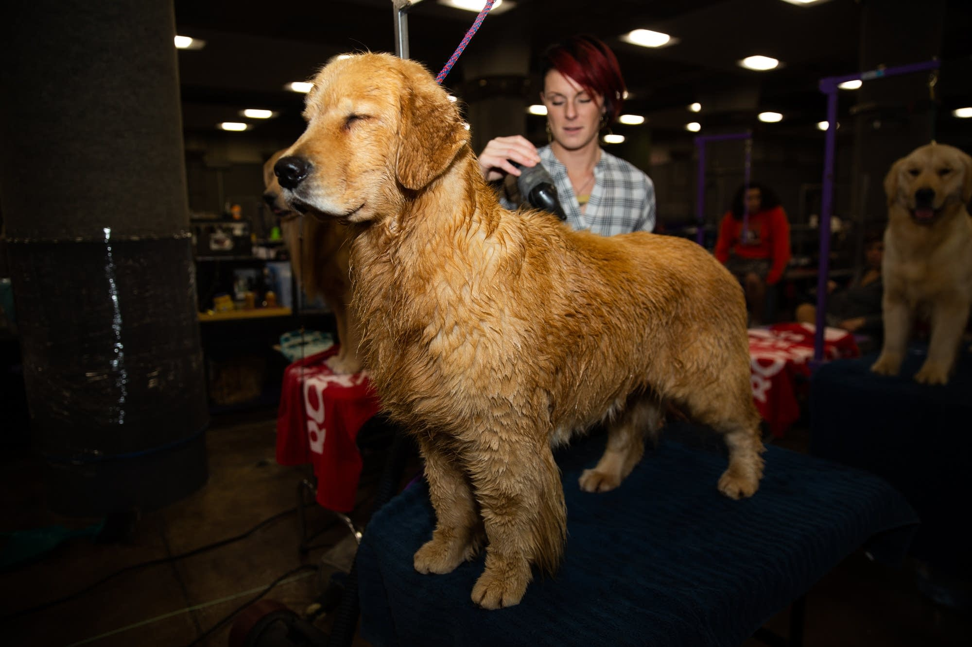 A Golden Retriever is groomed before competing.