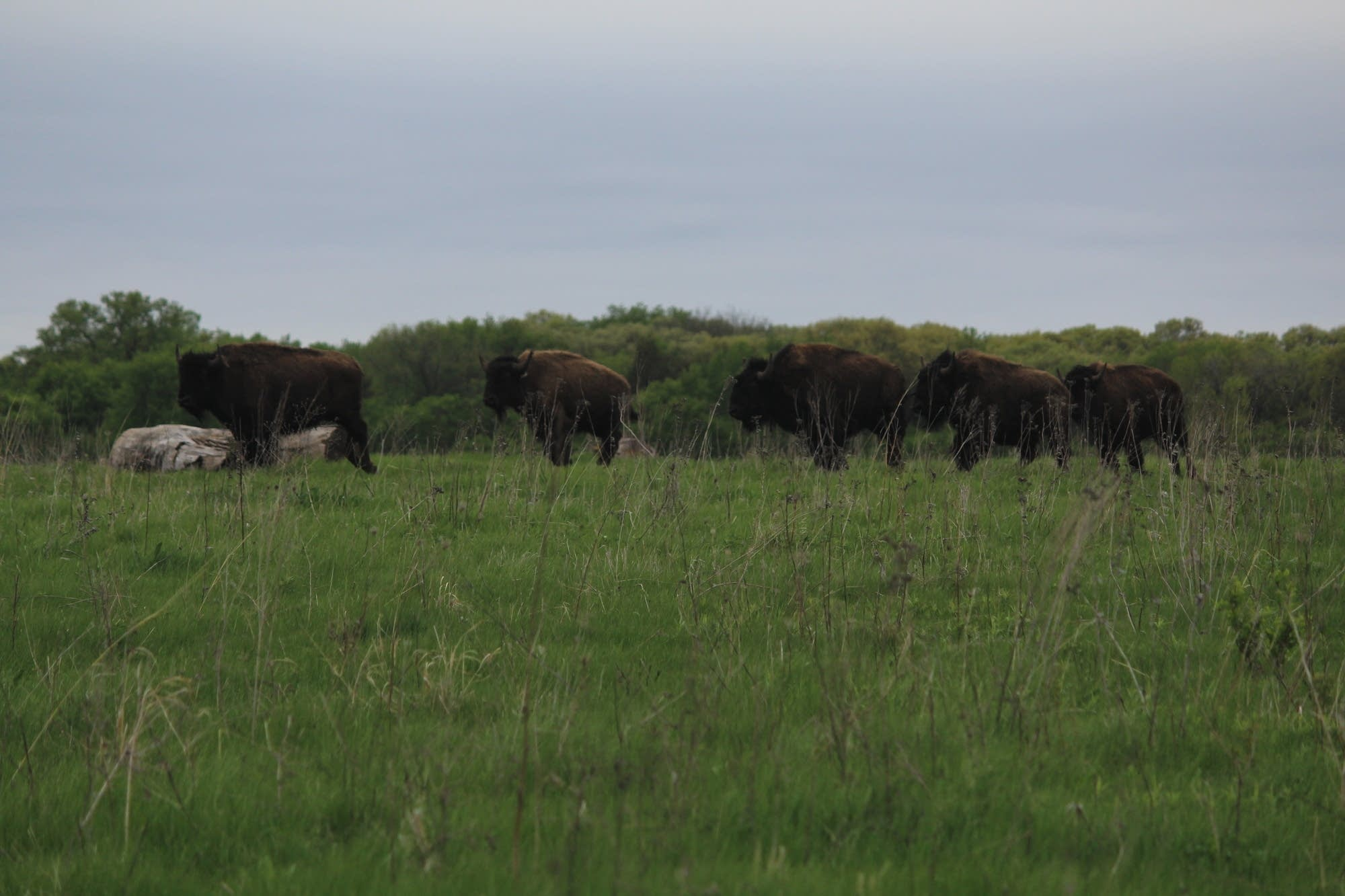 Bison stand in a field at the Belwin Conservancy