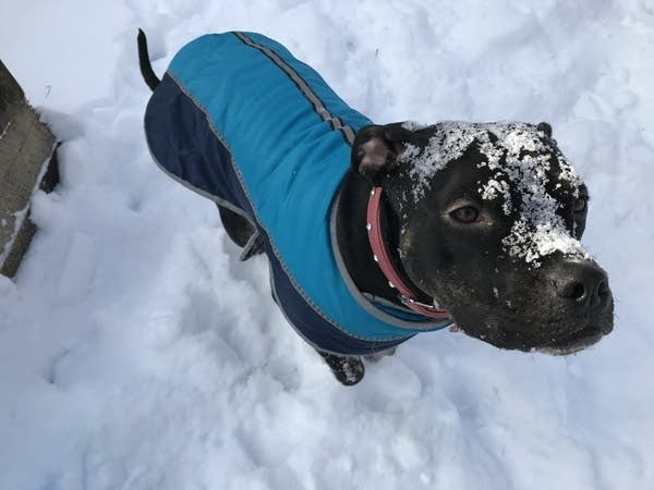 Maybelle the dog stands in the snow, equipped with her jacket and boots