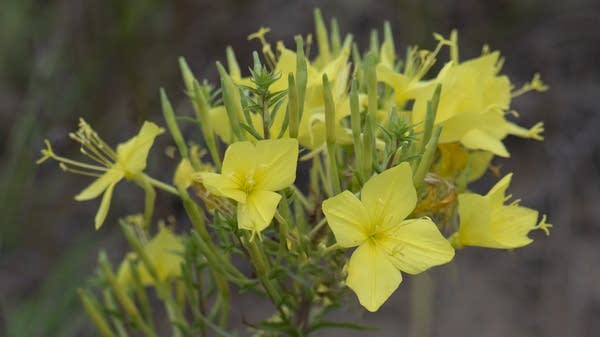Rhombic evening primrose