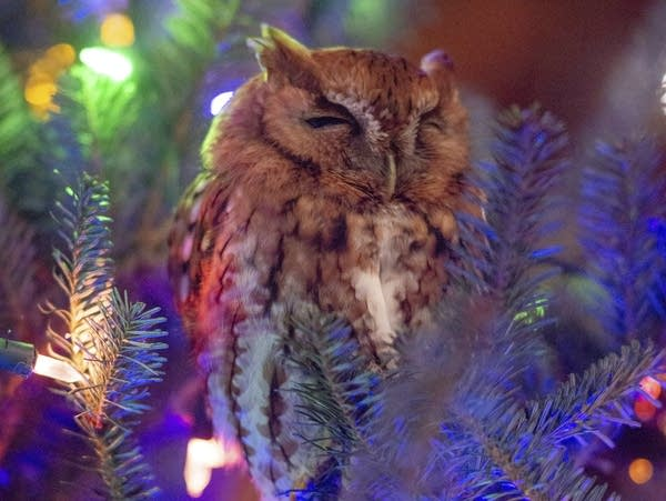 A small owl sits in a Christmas tree with eyes closed.