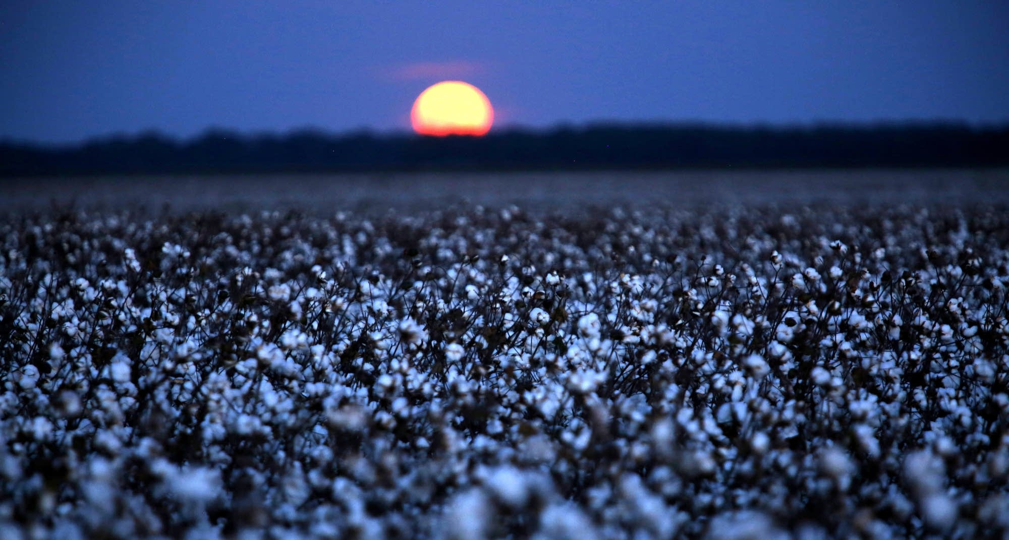 Moon over cotton field, Parchman, Mississippi