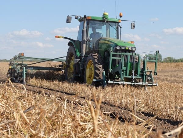 Windrowing kidney beans in a field
